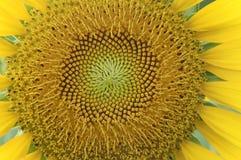Textur av solrosskivan Arkivbild