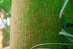 Textur av stammen av ett tropiskt träd Bakgrund för skäll för detalj för palmträdstam av den tropiska regnskognärbilden royaltyfria bilder