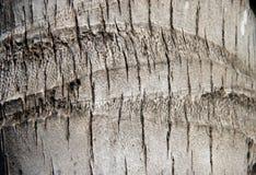 Textur av stammen av kokospalmen Modell av den bruna stjälk Arkivbild