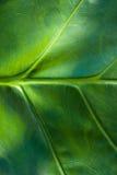 textur av tarobladet Royaltyfri Bild