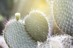 Textur av Texas Cactus Arkivfoton