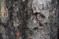 Textur av trä, sörjer skällnärbild Bakgrund brun textur arkivfoton