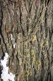 Textur av trädskället, med laven och mossa royaltyfri foto