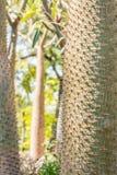 Textur av trädstammen, namn; pachypodiumlamerei Royaltyfria Foton