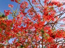 Textur av vedträdelonixen med röda mjuka härliga naturliga sidor med blommakronblad, ris av en tropisk exotisk växt i E royaltyfria bilder