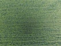 Textur av vetefältet Bakgrund av grönt vete för barn på fältet Foto från quadrocopteren Flygbild av vetefältet royaltyfri foto