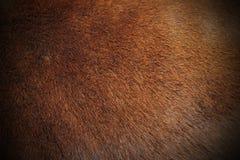Textur av zebufällen Royaltyfri Bild