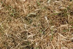 Textur bakgrund av torrt mejat gräs royaltyfria foton
