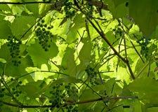 Textur de lames et de baies de vigne Images libres de droits