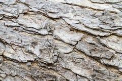 Textur - ett skäll av den gamla mimosan Arkivfoton