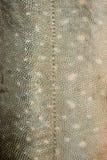 textur för 3 fiskscales Royaltyfria Bilder