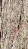 Textur för akaciaträdskäll Royaltyfri Foto