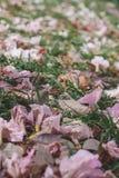 Textur för bakgrund för rosa färgblommanatur Fotografering för Bildbyråer