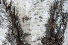Textur för björkskäll som abstrakt bakgrund Fotografering för Bildbyråer