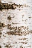 Textur för björkträdskäll Arkivfoton