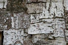 Textur för björkträdskäll Royaltyfri Bild