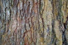 Textur för detalj för trädstam som naturlig bakgrund Tapet för textur för skällträd Durianträdskäll abstrakt bakgrund Arkivbilder