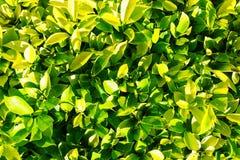 textur för grön leaf för bakgrund naturlig Royaltyfri Bild