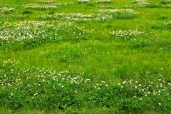 Textur för grönt gräs från ett fält Royaltyfri Foto
