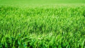 Textur för grönt gräs från ett fält Fotografering för Bildbyråer