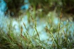 Textur för grönt gräs och bokehbakgrund Ljust saftigt starrgräsgräs på grön blå gul suddig bakgrundsnärbild royaltyfria bilder