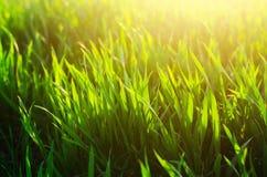Textur för grönt gräs, vår, soligt väder, naturlig tapet för design Närbild makro Arkivfoto