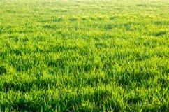 Textur för grönt gräs, vår, soligt väder, naturlig tapet för design Selektivt fokusera Arkivbild