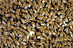 Textur för honung för honungbin upptagen görande Royaltyfri Fotografi
