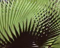 Textur för naturlig bakgrund ljus skugga Palmbladet Arkivfoto