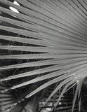 Textur för naturlig bakgrund svart white ljus skugga Palmbladet Fotografering för Bildbyråer
