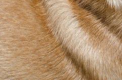 Textur för pälsdjur Royaltyfri Fotografi