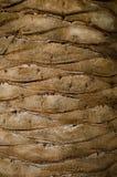 Textur för palmträdskäll Arkivfoto