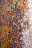 Textur för Platan trädskäll Royaltyfri Fotografi