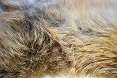 Textur för rävpäls Royaltyfri Foto
