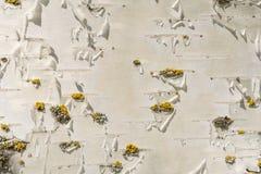Textur för skäll för vit björk med ett litet belopp av gul mossa, abstrakt bakgrund Arkivfoton