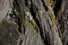 Textur för skällträd Bakgrund för skällträd Abstrakt textur och bakgrund för formgivare Fotografering för Bildbyråer