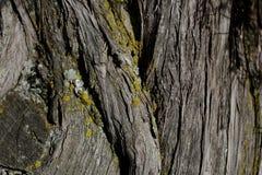 Textur för skällträd Bakgrund för skällträd Abstrakt textur och bakgrund för formgivare Arkivfoto