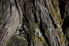 Textur för skällträd Bakgrund för skällträd Abstrakt textur och bakgrund för formgivare Royaltyfri Foto