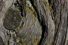 Textur för skällträd Bakgrund för skällträd Abstrakt textur och bakgrund för formgivare Royaltyfri Fotografi