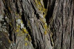 Textur för skällträd Bakgrund för skällträd Abstrakt textur och bakgrund för formgivare Royaltyfri Bild