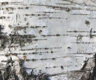 Textur för träd för närbild/för björk för papper för naturlig bakgrund för textur för björkskäll wood Royaltyfri Bild