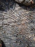 Textur för trädcirklar royaltyfri foto