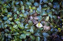 Textur för trädgårds- växt Arkivbild