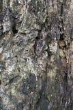 Textur för trädskäll Fotografering för Bildbyråer