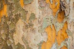 Textur för trädskäll Arkivfoto