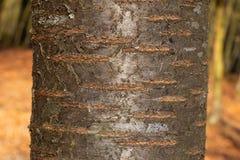 Textur för trädskäll av Prunusaviumen eller den lösa körsbäret med den härliga skinande modellen arkivfoton