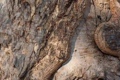 Textur för trädskäll ett gammalt träd Arkivfoto