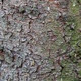 Textur för trädskäll för bakgrund royaltyfria bilder