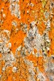 Textur för trädskäll i färger Royaltyfria Bilder