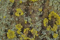 Textur för trädskäll med grön och grå mossa Arkivbilder